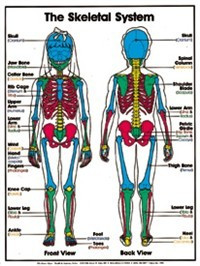 "The Skeletal System (Grades 4-8) Chart, Laminated 18"" x 24"""