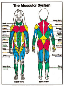"The Muscular System (Grades 4-8) Chart, Laminated 18"" x 24"""