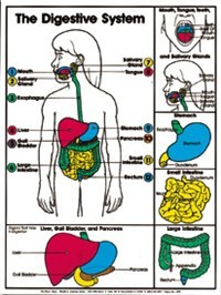 "Digestive System (Grades 4-8) Chart, Laminated 18"" x 24"""