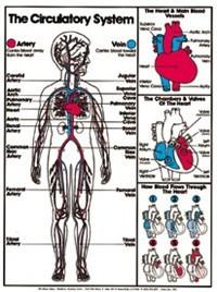 """Circulatory System (Grades 4-8) Chart, Laminated 18"""" x 24"""""""