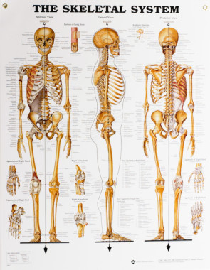 "Skeletal System Chart, Laminated 20"" x 26"""