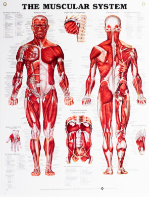 "Muscular System Chart, Laminated 20"" x 26"""